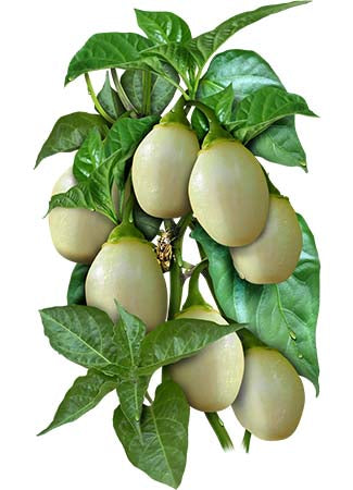 White Habanero Pepper Seeds (Capsicum chinense)