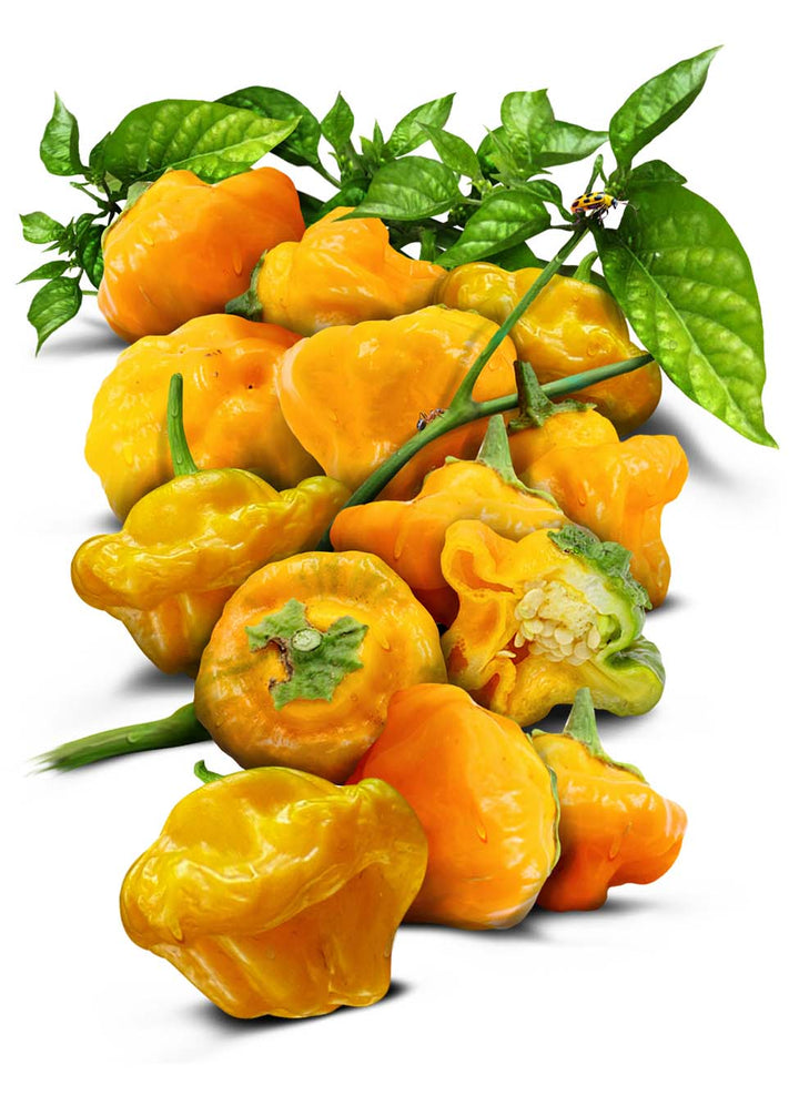 Jamaican Yellow Pepper Seeds