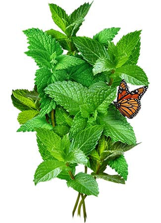 Peppermint Herb Seeds (Mentha piperita)