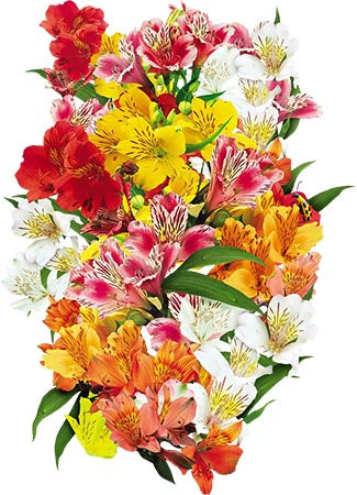 peruvian lily seeds for planting