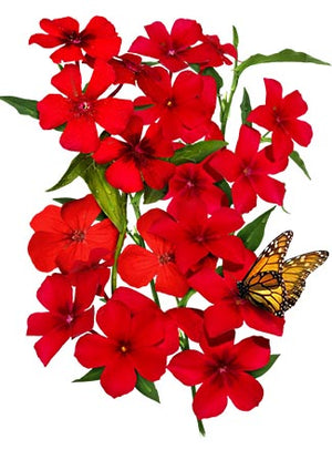 Red Drummond Phlox Seeds (Phlox Drummondii)