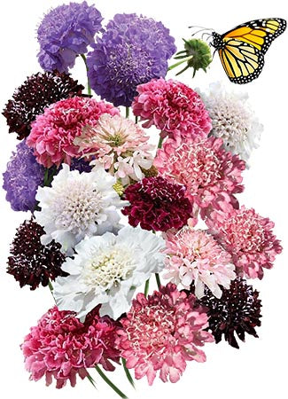 Pincushion Mixture (Scabiosa atropurpurea)