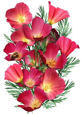 Carmine King California Poppy Seeds (Eschscholzia californica)