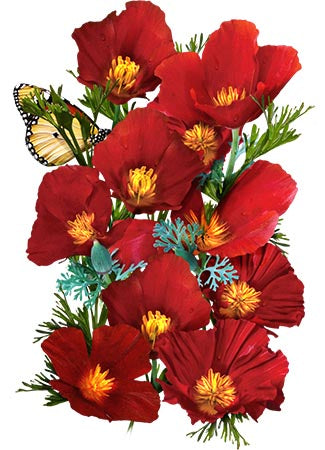 Red Chief California Poppy Seeds (Eschscholzia californica)