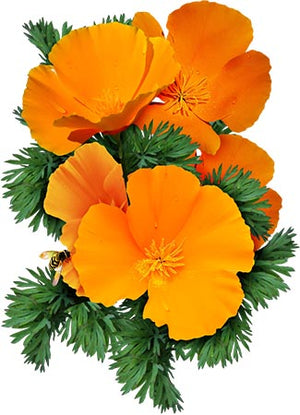 Orange California Poppy Seeds (Eschscholzia californica)