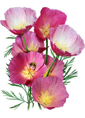 Purple Gleam California Poppy Seeds (Eschscholzia californica)