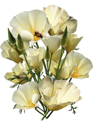 White Linen California Poppy Seeds