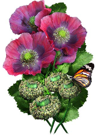 Hens and chicks poppy seeds papaver somniferum seed needs hens and chicks poppy seeds papaver somniferum mightylinksfo