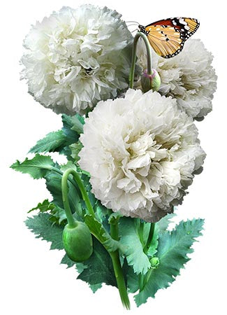 Cream Peony Poppy Seeds (Papaver paeoniflorum)