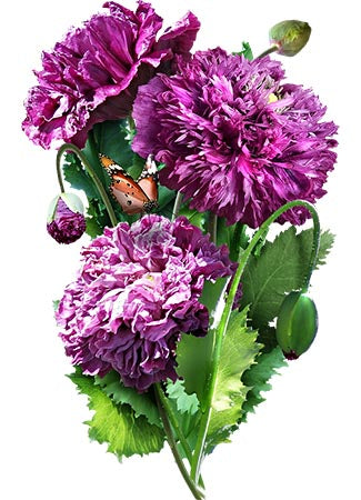 Purple Peony Poppy Seeds (Papaver paeoniflorum)
