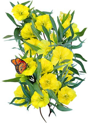 Dwarf Evening Primrose Seeds (Oenothera missouriensis)