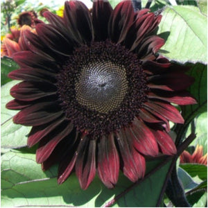 Procut red sunflower