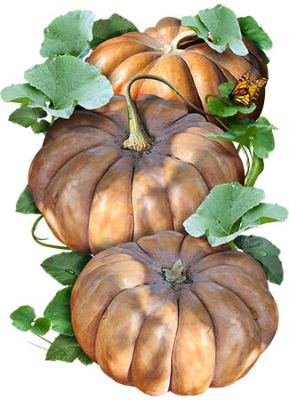 Fairytale Pumpkin Seeds (Cucurbita moschata)