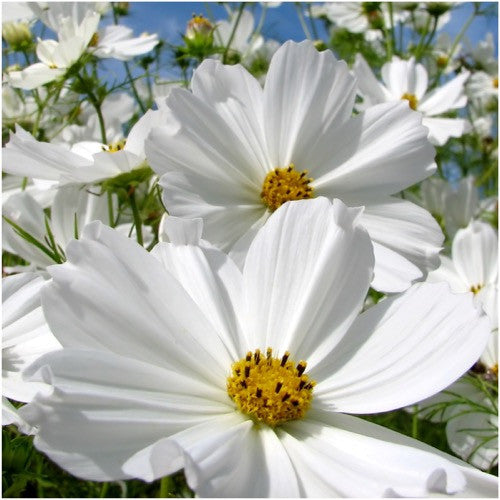 Purity Cosmos