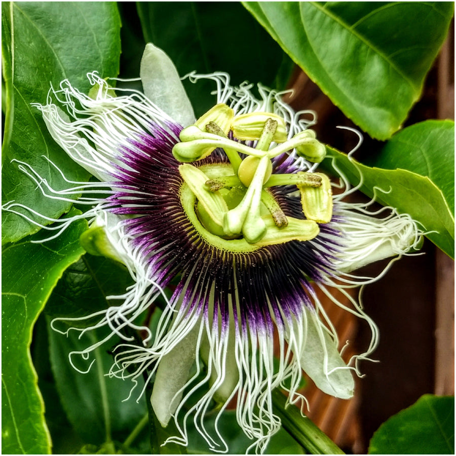 purple passion fruit flower seeds
