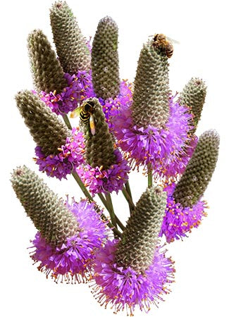 Purple Prairie Clover Seeds (Dalea purpurea)