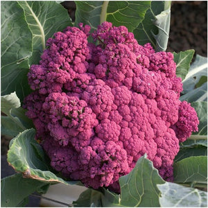 Purple Sicily Cauliflower