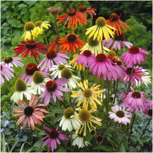 rainbow coneflower