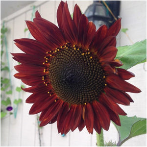 red sun sunflower