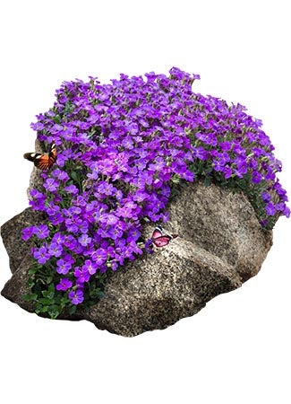 Purple Rockcress Groundcover Seeds (Aubrieta deltoidea)