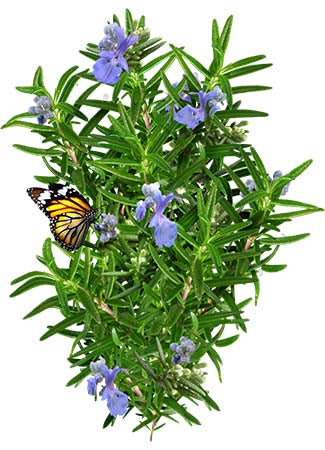Rosemary Herb Seeds (Rosemarinus officinalis)