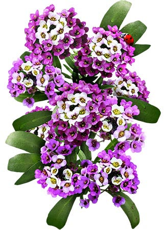 Royal Carpet Alyssum Seeds For Planting