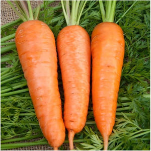 royal chantenay carrot