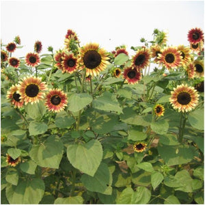 ruby eclipse sunflower