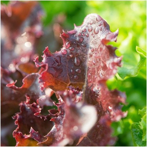 Ruby Red Lettuce
