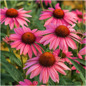 ruby star coneflower