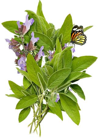 Sage Herb Seeds (Salvia officinalis)