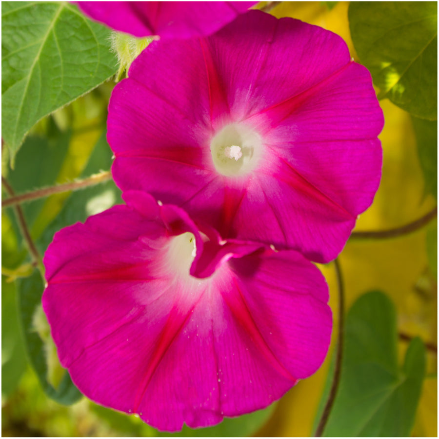 Scarlet O'Hara morning glory seeds