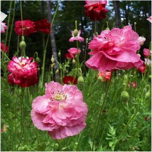 shirley poppy double mixture