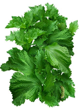 Green Shiso Seeds (Perilla frutescens)