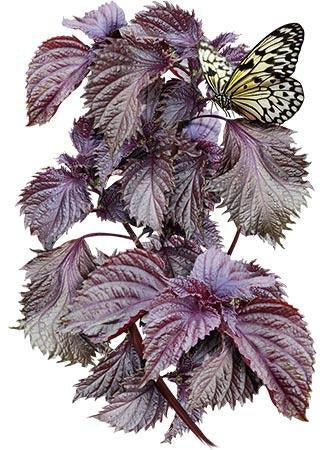 red shiso seeds