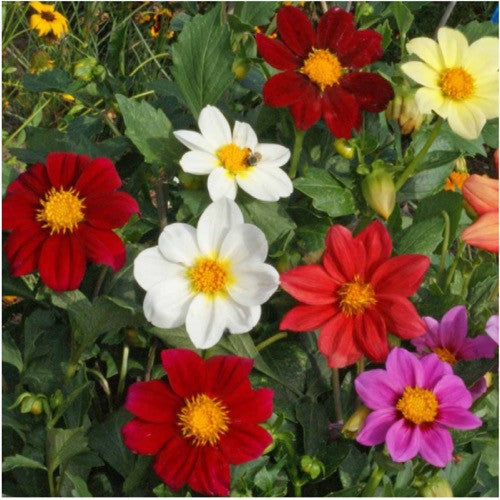 Dwarf Single Mixed Dahlia