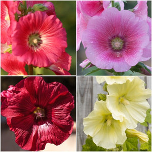 single hollyhock