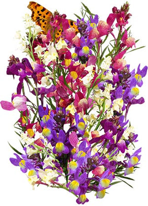 "Spurred Snapdragon Seeds ""Dwarf / Fairy Bouquet"" (Linaria maroccana)"