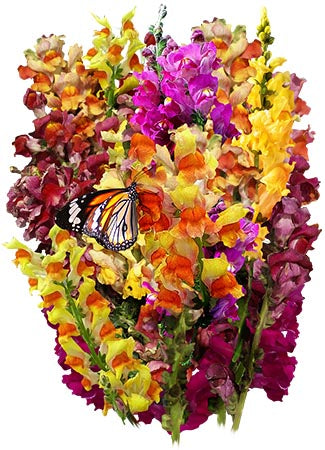 Snapdragon - Tetra Mixture (Antirrhinum majus)