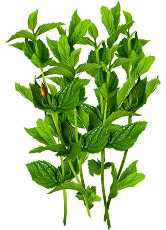 spearmint herb seeds for planting