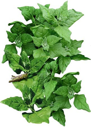 New Zealand Spinach Seeds (Tetragonia tetragonioides)