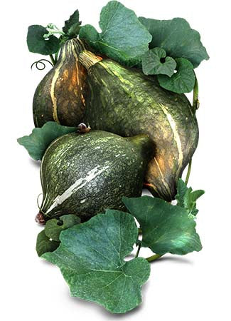 Green Hubbard Winter Squash Seeds (Cucurbita maxima)