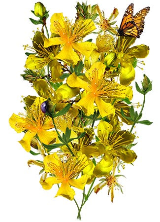 St. Johns Wort Herb Seeds (Hypericum perforatum)