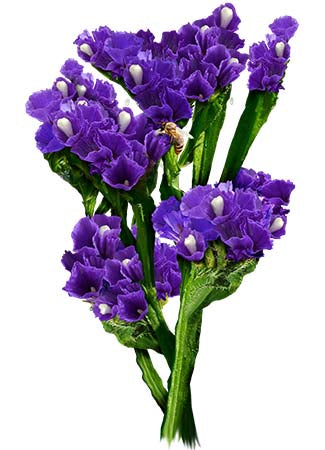 Purple Attraction Statice Seeds (Limonium Sinuatum)