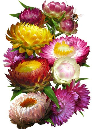 Strawflower Seed Mixture (Helichrysum bracteatum)