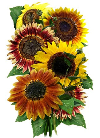 Autumn Beauty Sunflower Seeds