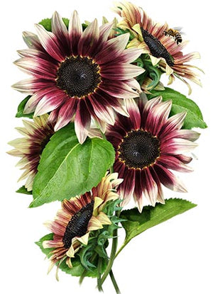 Cherry Rose Sunflower Seeds (Helianthus annuus)