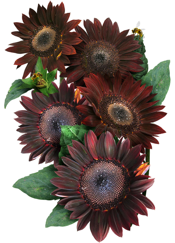 Chocolate Sunflower Seeds
