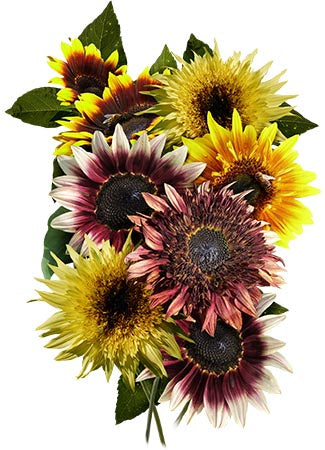 Double Dance Mixed Sunflower Seeds (Helianthus annuus)