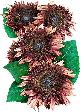 Double Dandy Sunflower Seeds (Helianthus annuus)